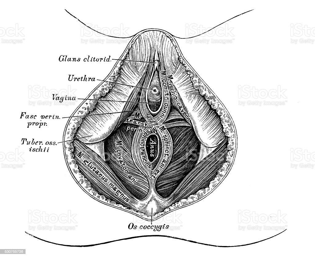 Anatomie Des Menschen Wissenschaftliche Illustrationen Weibliche ...