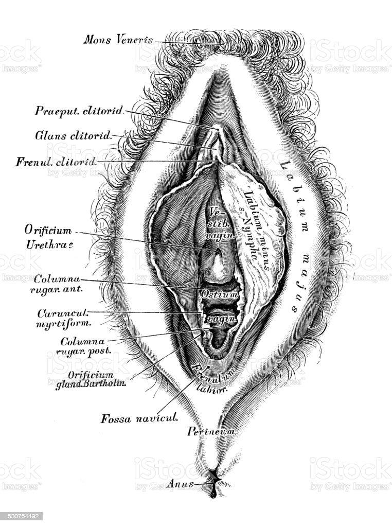Human anatomy scientific illustrations: female reproductive organ vector art illustration