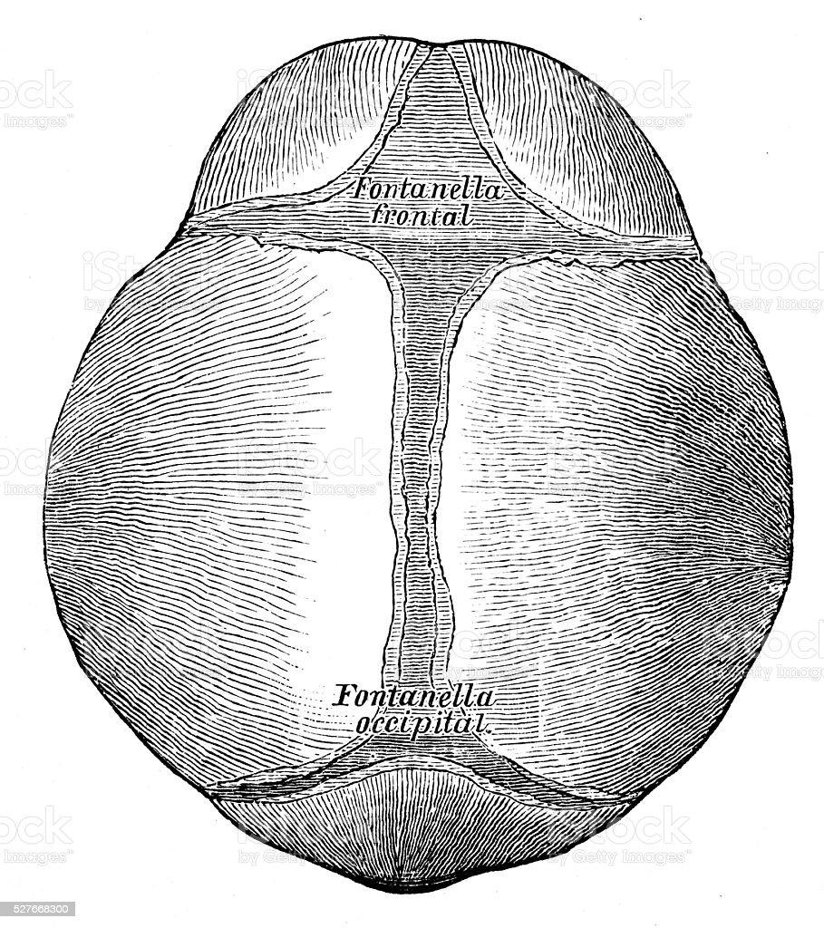 Human Anatomy Scientific Illustrations Fetus Skull stock vector art ...