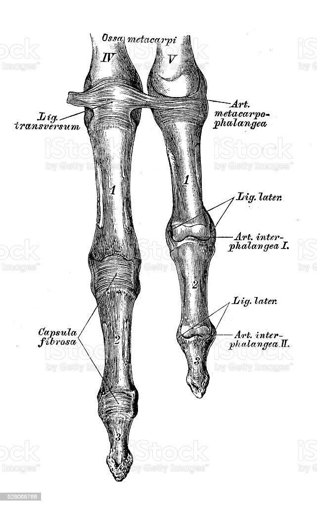 Anatomie Des Menschen Wissenschaftliche Illustrationen Finger ...