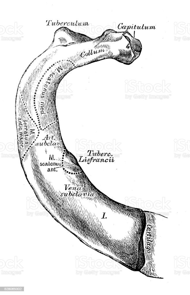 Human Anatomy Scientific Illustrations First Rib Stock Vector Art ...