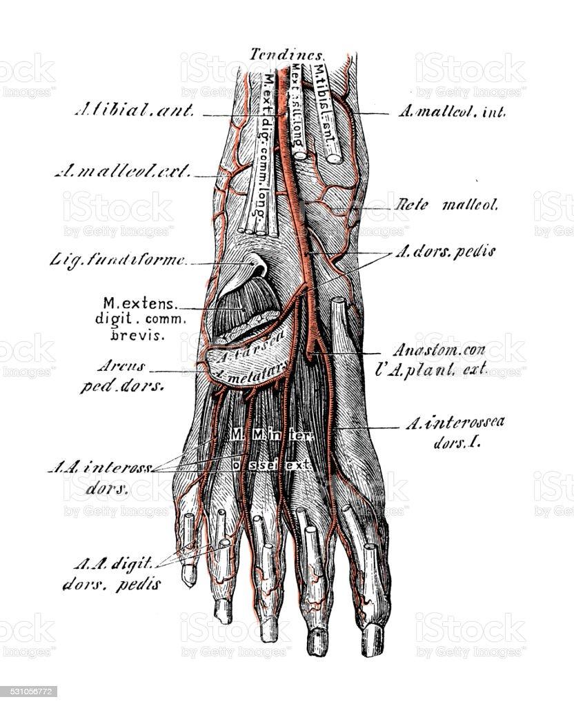 Ilustraciones Científicas De Anatomía Humana Las Arterias Pie - Arte ...