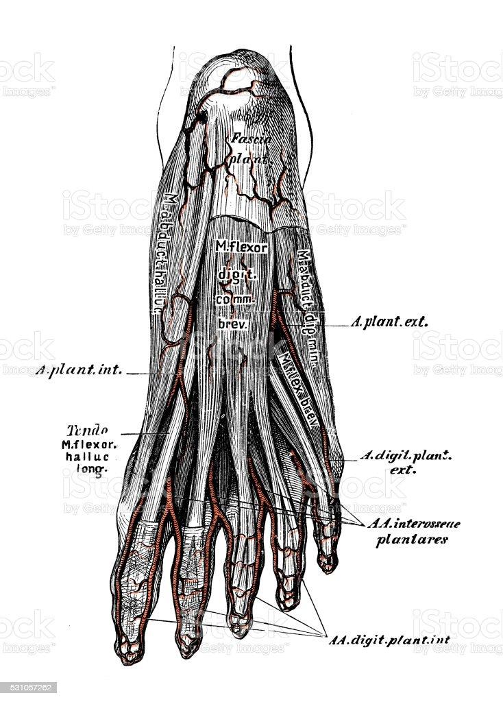 Atractivo Anatomía De La Arteria Pie Bosquejo - Imágenes de Anatomía ...