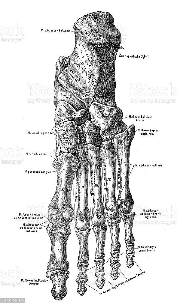 Anatomie Des Menschen Wissenschaftliche Illustrationen Große Knochen ...