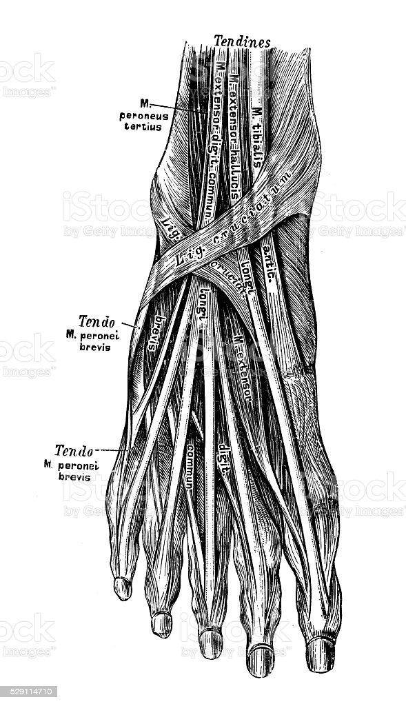 Ilustración de Ilustraciones Científicas De Anatomía Humana Músculo ...