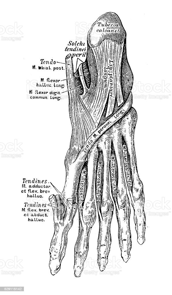 Ilustraciones Científicas De Anatomía Humana Músculo Pie - Arte ...