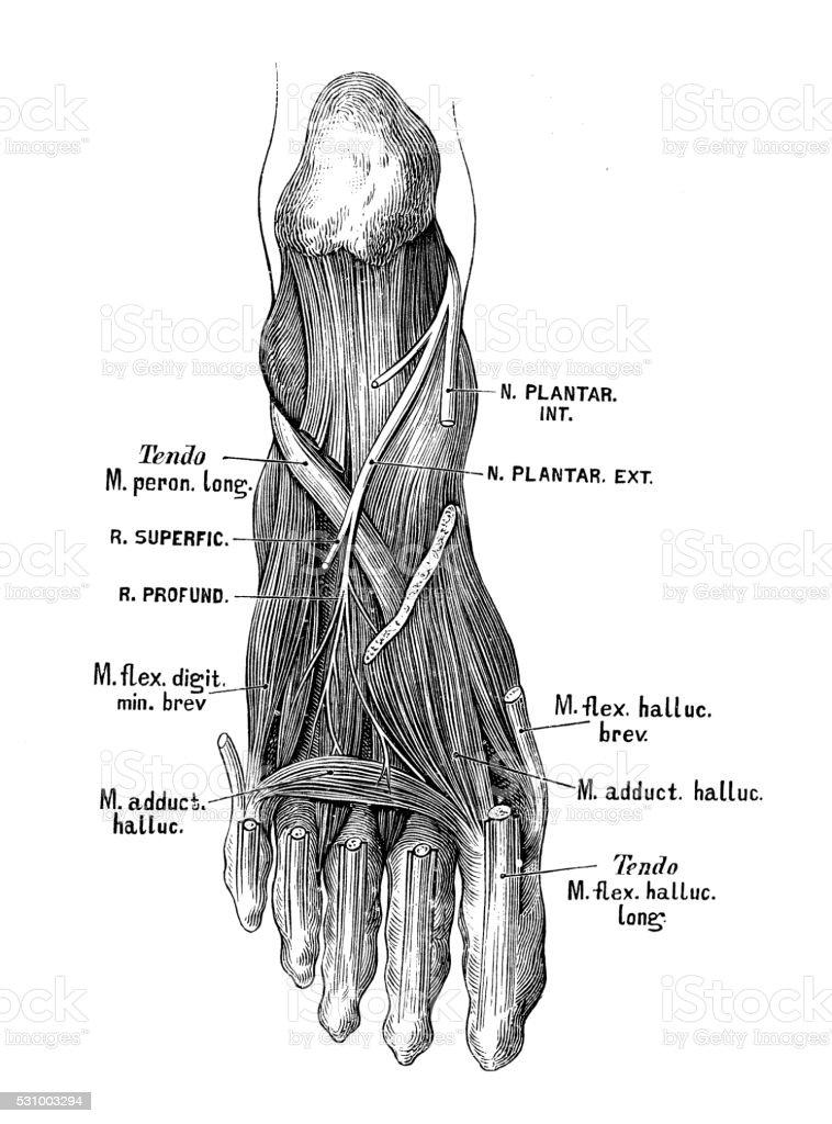Illustrations Scientifiques De Lanatomie Humaine Nerfs Du Pied ...