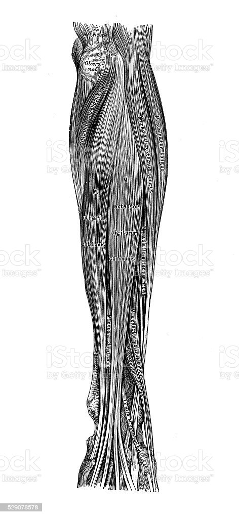 Human Anatomy Scientific Illustrations Forearm Muscles Stock Vector ...