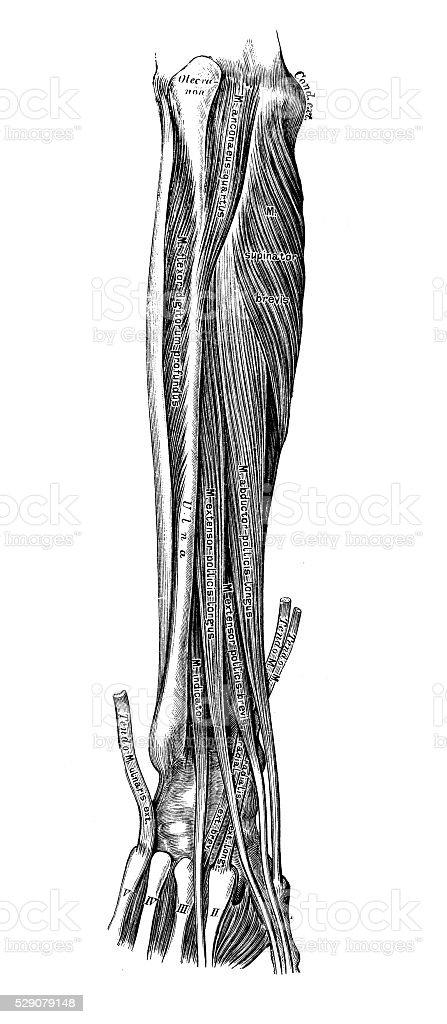 Anatomie Des Menschen Wissenschaftliche Illustrationen Unterarm ...