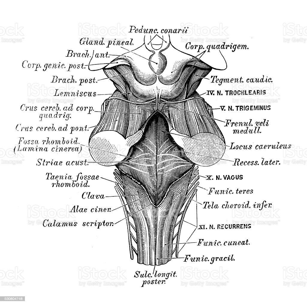 Ilustración de Ilustraciones Científicas De Anatomía Humana Cuarto ...