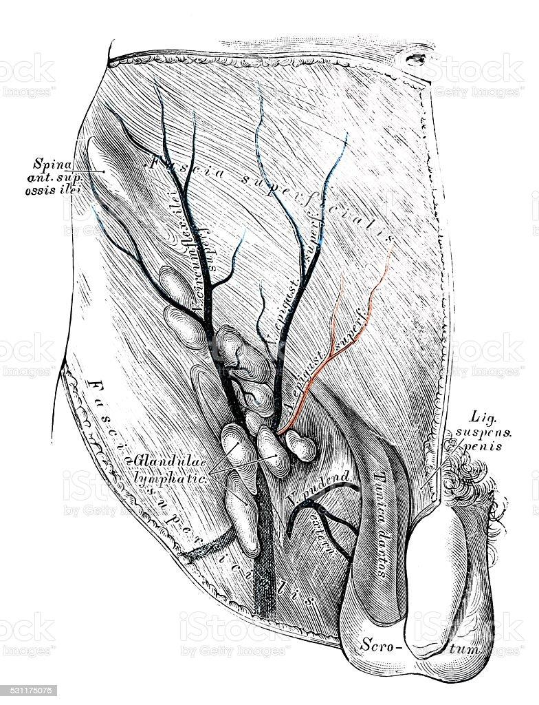 Ilustración de Ilustraciones Científicas De Anatomía Humana Ingle ...