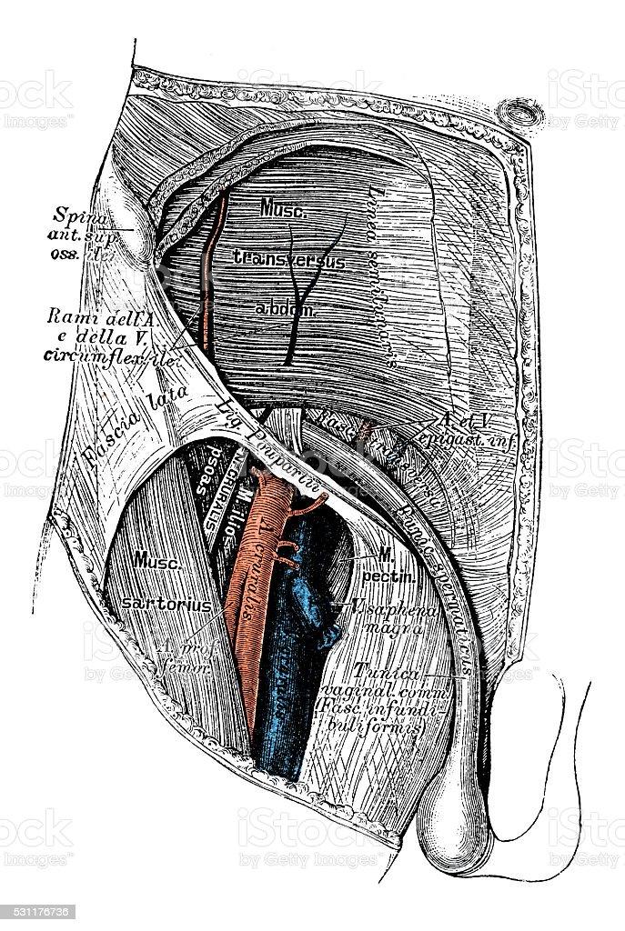 Ilustraciones Científicas De Anatomía Humana Ingle Vaso Linfático ...