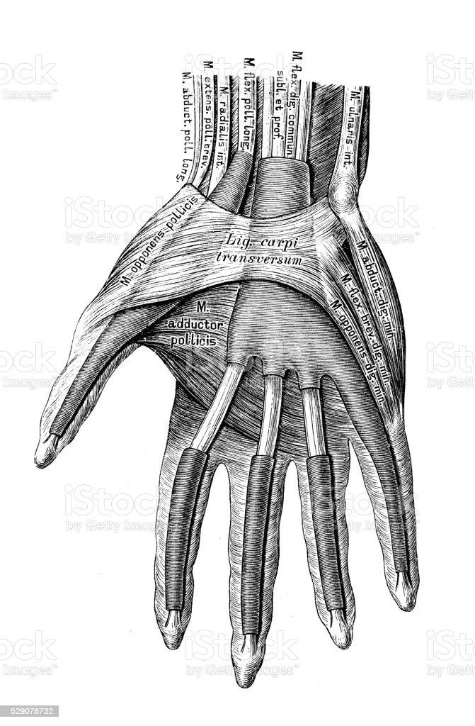Human Anatomy Scientific Illustrations Hand Muscles Stock Vector Art