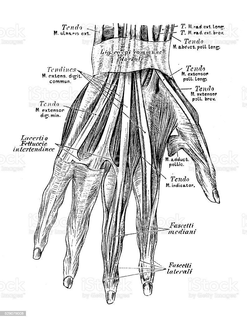 Human Anatomy Scientific Illustrations Hand Muscles Stock Vector Art ...