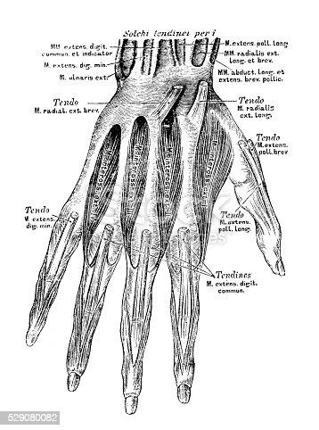 Anatomie Des Menschen Wissenschaftliche Illustrationen Hand Muskeln ...
