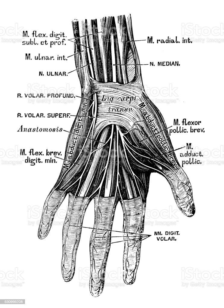 Human Anatomy Scientific Illustrations Hand Nerves Stock Vector Art ...