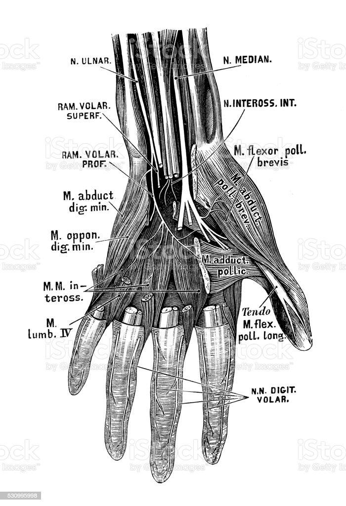 Ilustración de Ilustraciones Científicas De Anatomía Humana Mano Los ...