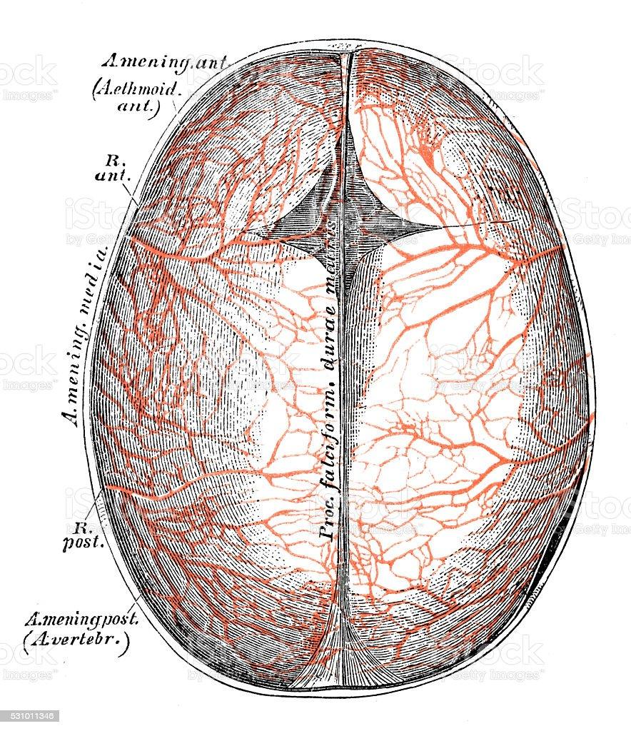 Human Anatomy Scientific Illustrations Head Arteries Stock Vector