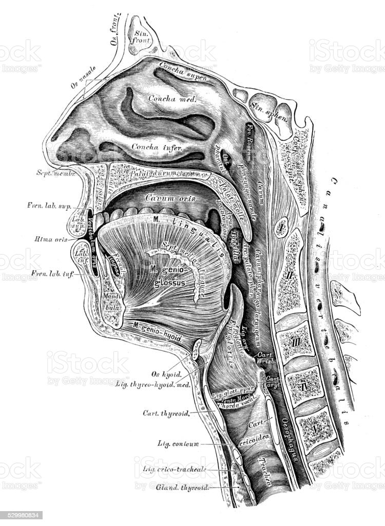Human Anatomy Scientific Illustrations Head Section Stock Vector Art ...