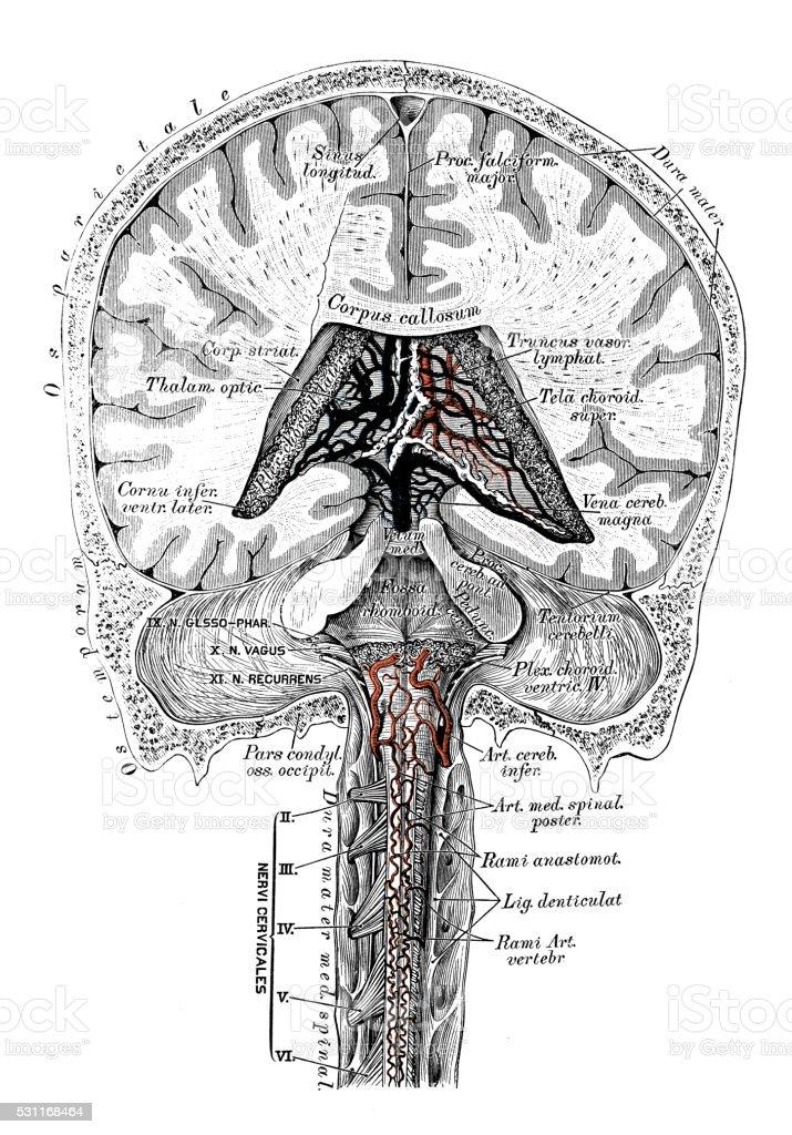 Anatomie Des Menschen Wissenschaftliche Illustrationen Kopf Adern ...