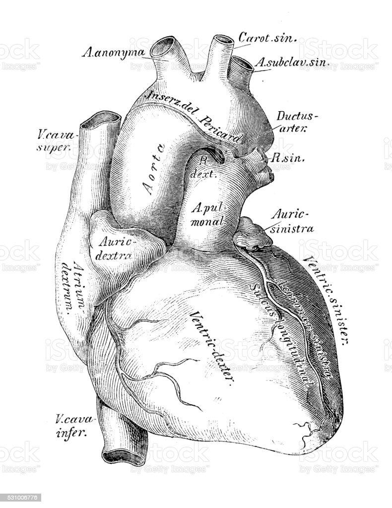 Illustrazioni Scientifiche Di Anatomia Umana Cuore Vene E Arterie ...