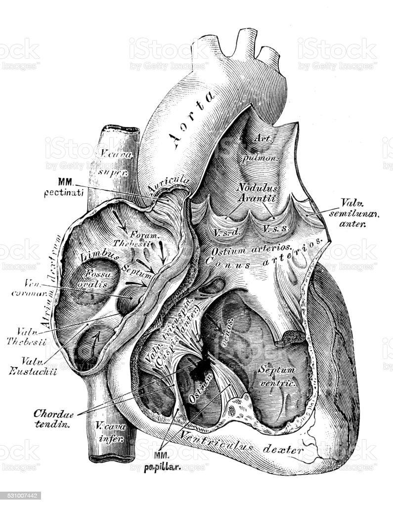 Human anatomy scientific illustrations: heart, veins and arteries vector art illustration