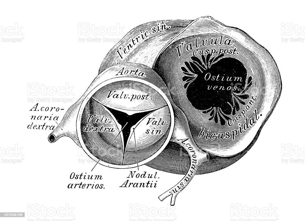 Ilustración de Ilustraciones Científicas De Anatomía Humana Corazón ...
