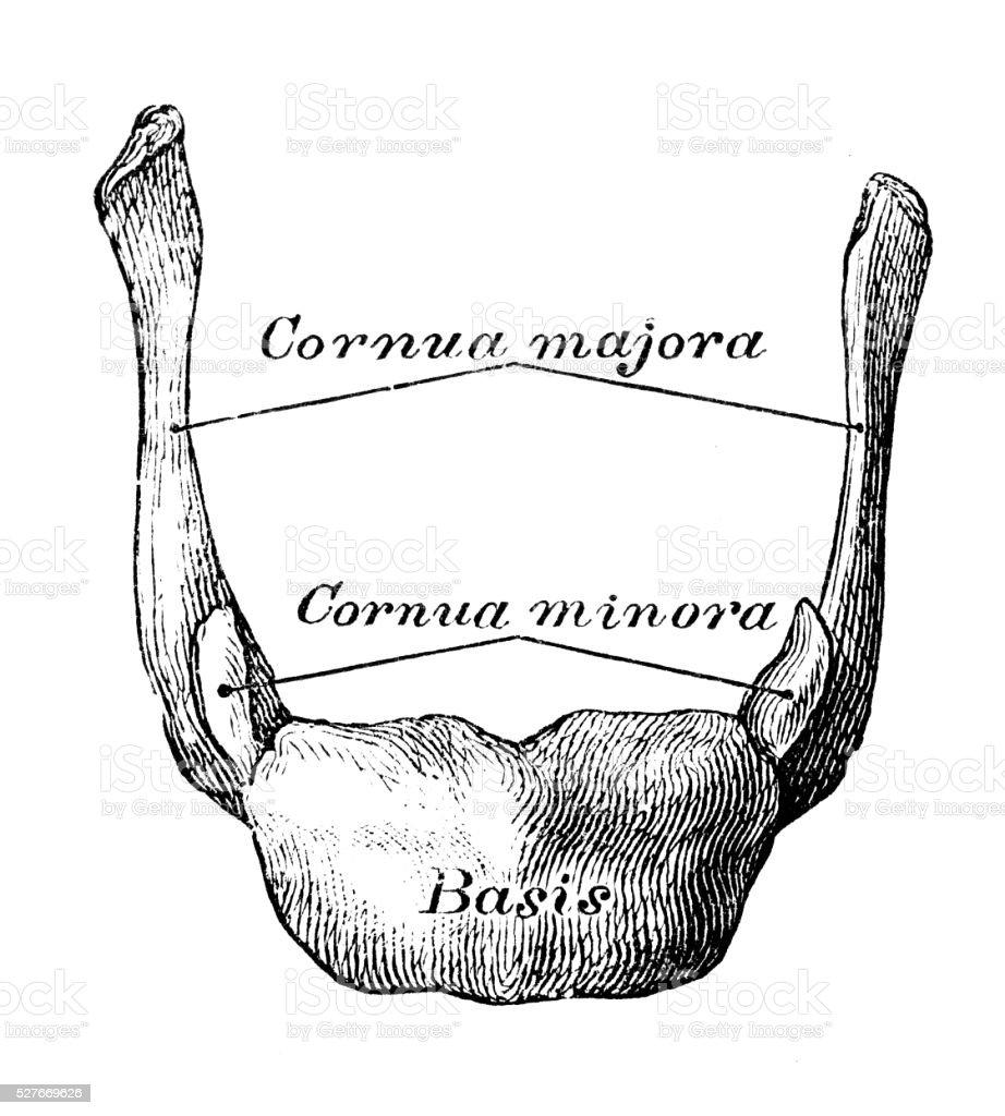 Human Anatomy Scientific Illustrations Hyoid Bone Stock Vector Art ...