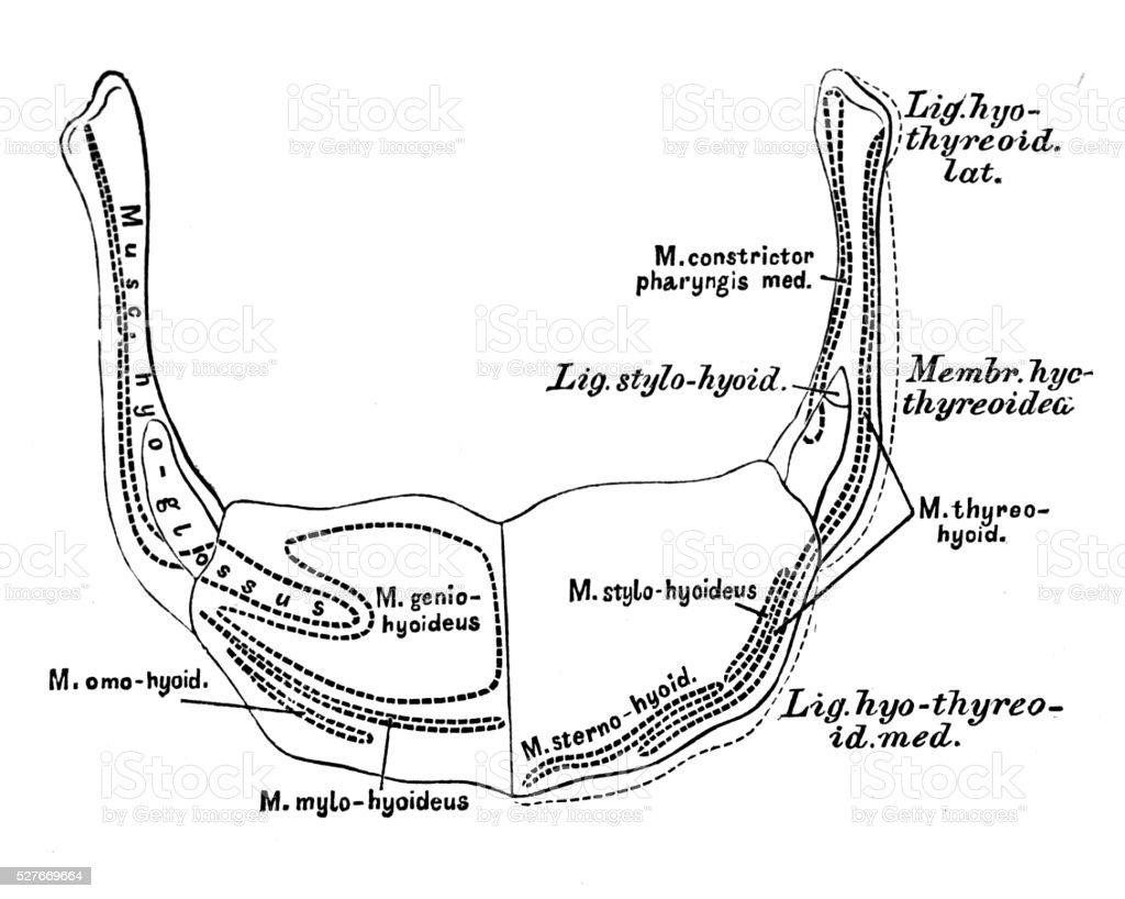 Ilustración de Ilustraciones Científicas De Anatomía Humana Hioideo ...