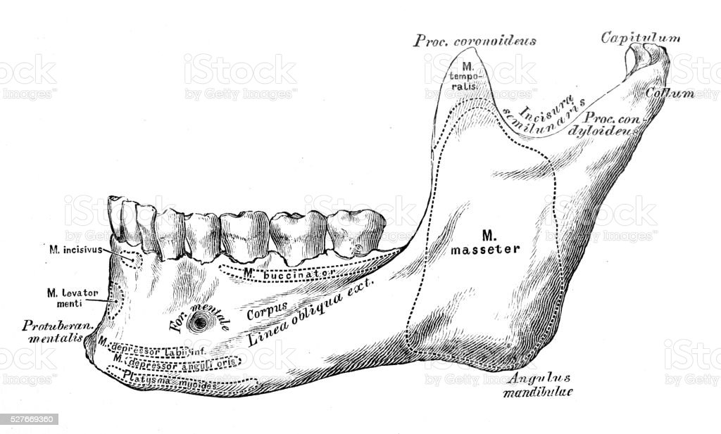 Human anatomy scientific illustrations: Inferior maxilla bone vector art illustration