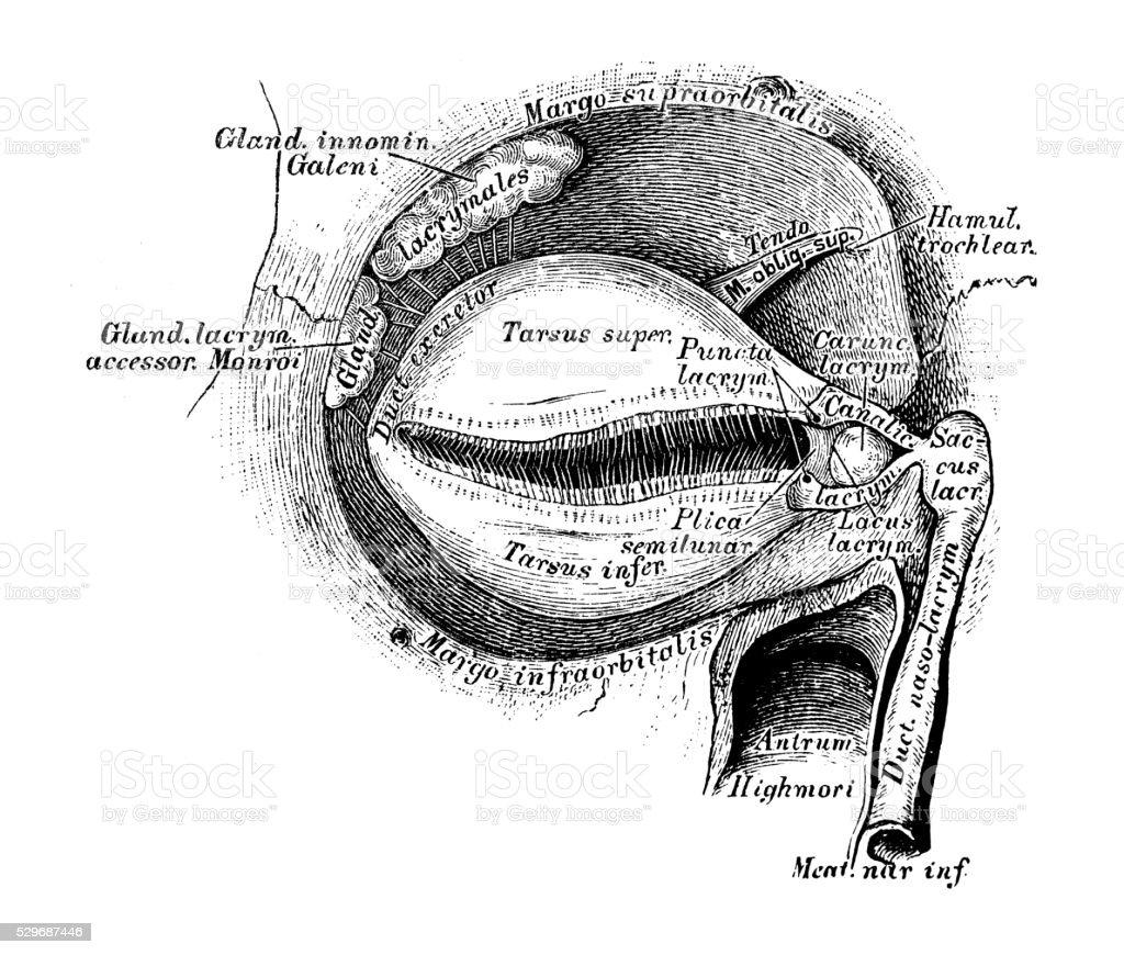 Anatomie Des Menschen Wissenschaftliche Illustrationen Tränendrüse ...