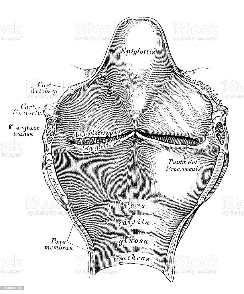Human Anatomy Scientific Illustrations Larynx Stock Vector Art ...