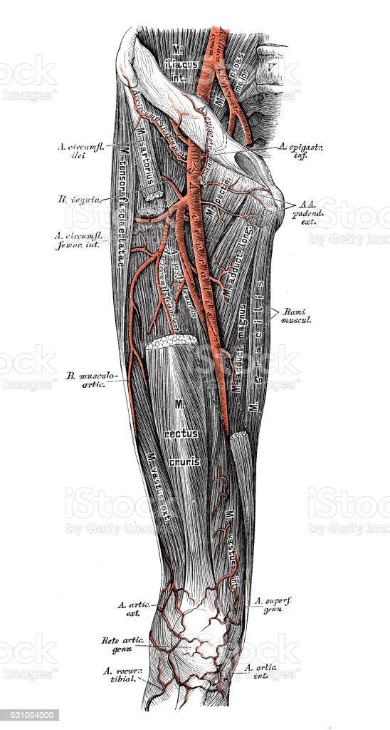 Ilustración de Ilustraciones Científicas De Anatomía Humana Arterias ...