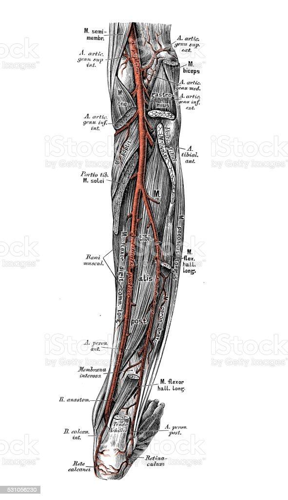 Human anatomy scientific illustrations: leg arteries vector art illustration