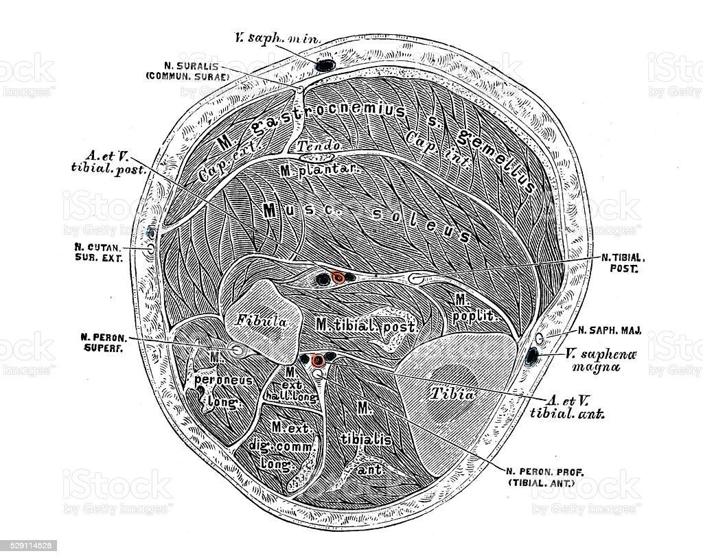 Ilustraciones Científicas De Anatomía Humana Muscular En Las Piernas ...