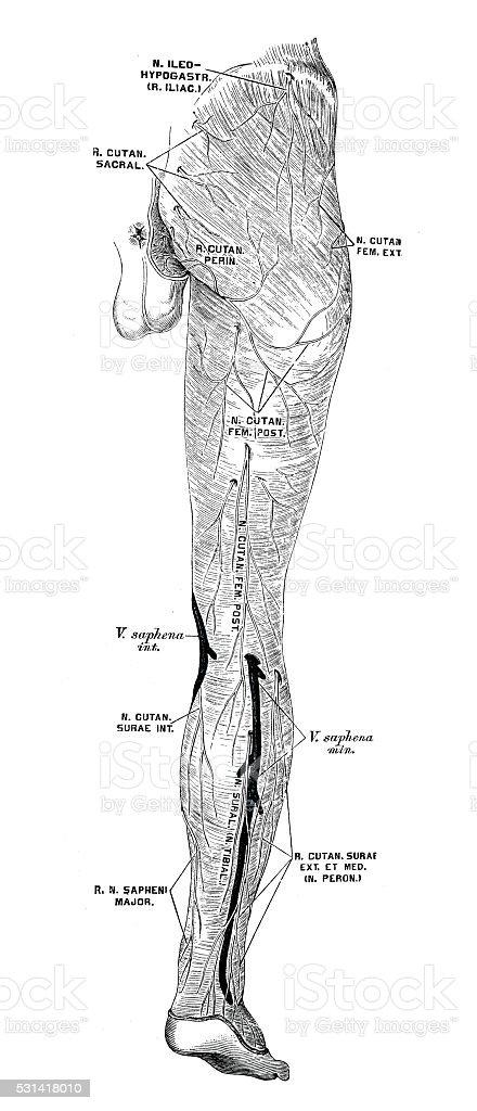 Prächtig Anatomie Des Menschen Wissenschaftliche Illustrationen Bein Nerven @TD_67