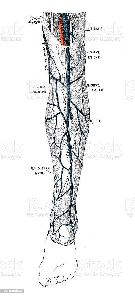 Human Anatomy Scientific Illustrations Leg Veins Stock Vector Art