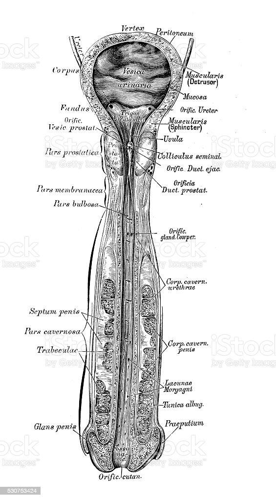 Human Anatomy Scientific Illustrations Male Bladder And Urethra ...