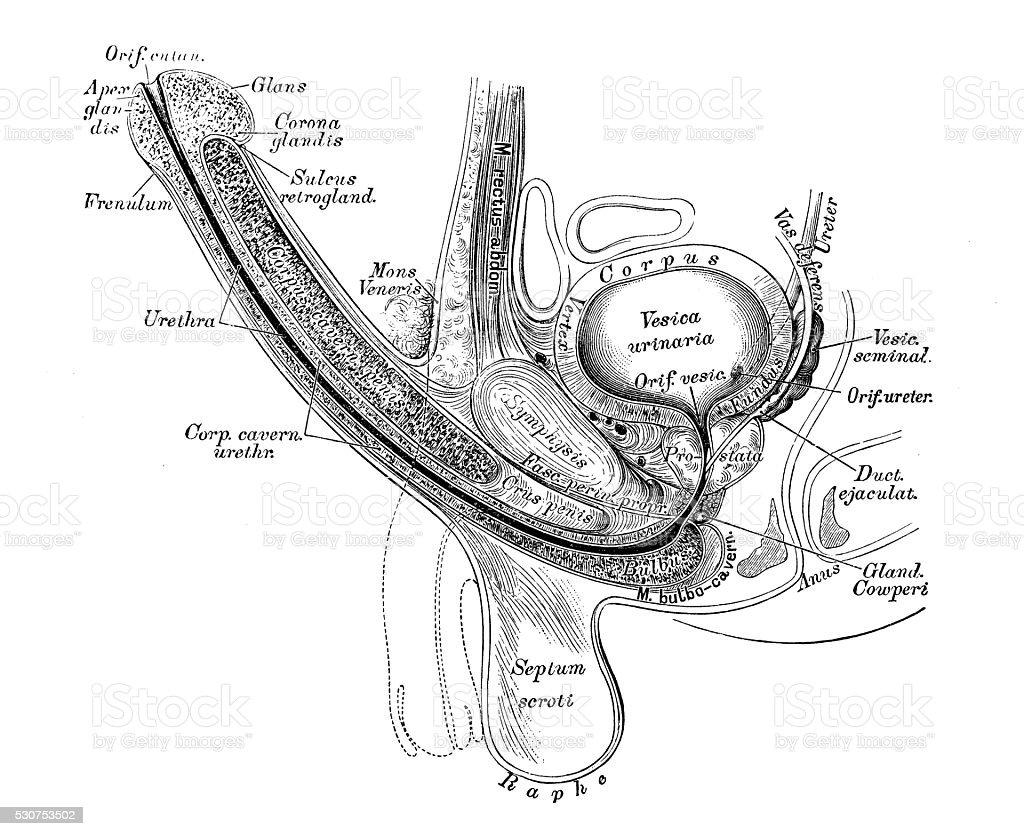 Ilustración de Ilustraciones Científicas De Anatomía Humana Macho ...