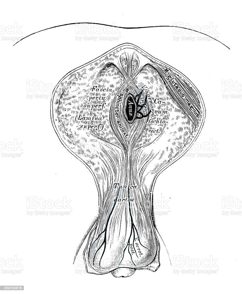 Human Anatomy Scientific Illustrations Male Perineum Stock Vector ...