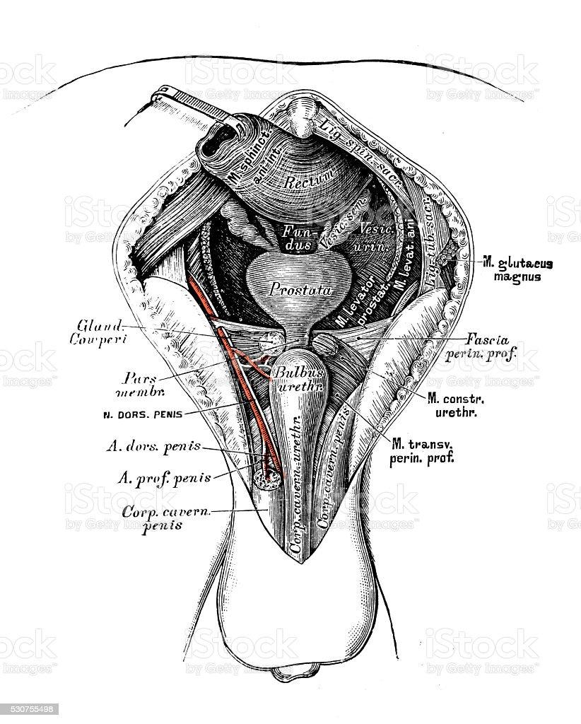 Human Anatomy Scientific Illustrations Male Perineum Stock Vector
