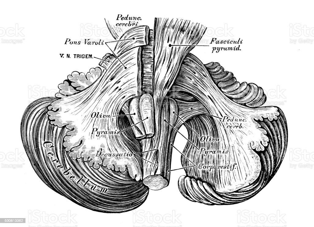 Ilustración de Ilustraciones Científicas De Anatomía Humana Cerebro ...