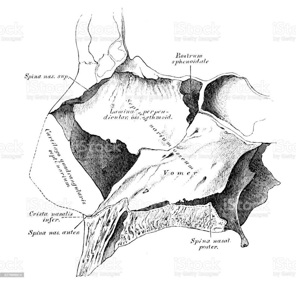 Ilustración de Ilustraciones Científicas De Anatomía Humana Cavidad ...
