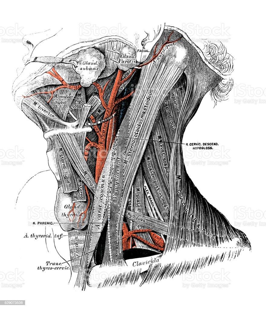 Ilustraciones Científicas De Anatomía Humana Músculos Cervicales ...