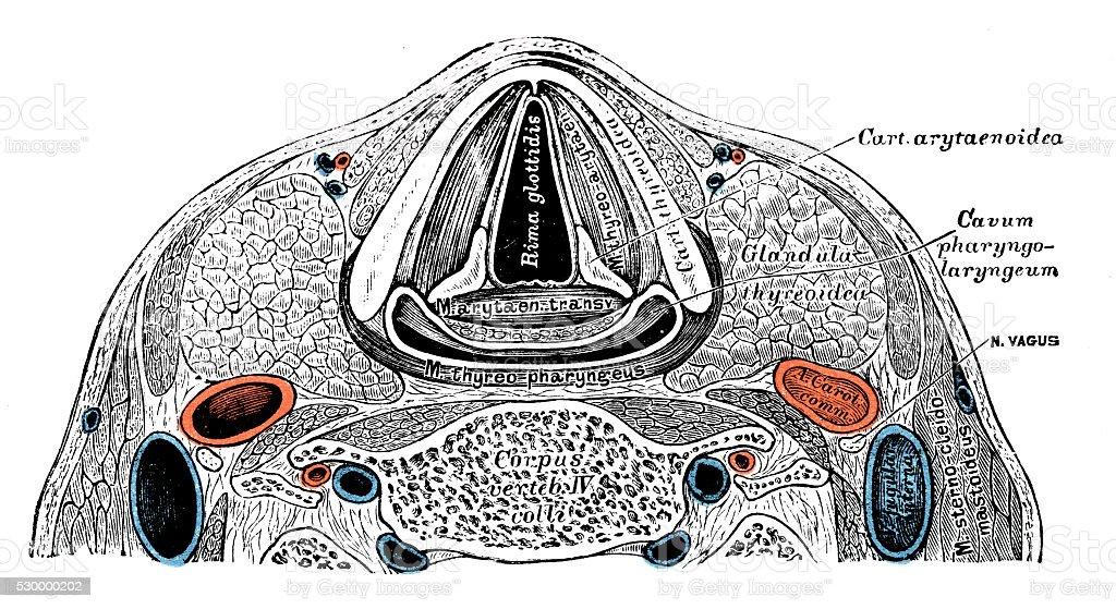 Ilustración de Ilustraciones Científicas De Anatomía Humana Cuello ...