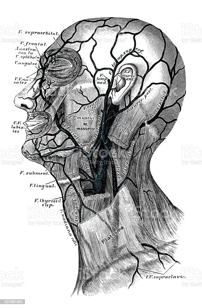 Human Anatomy Scientific Illustrations Neck Veins Stock Vector Art