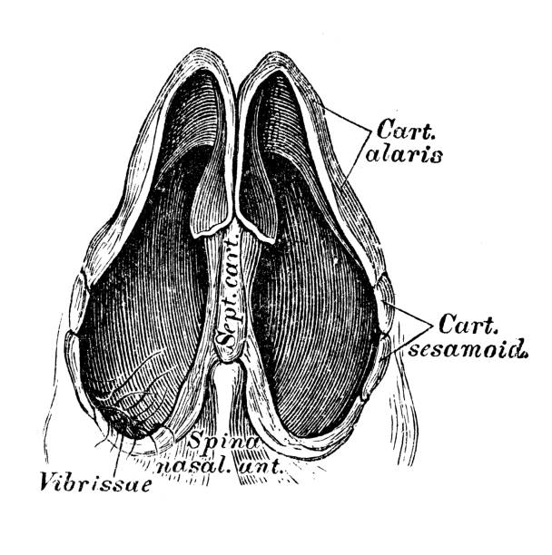 Human anatomy scientific illustrations: nose section Human anatomy scientific illustrations with latin/italian labels: nose section septum stock illustrations