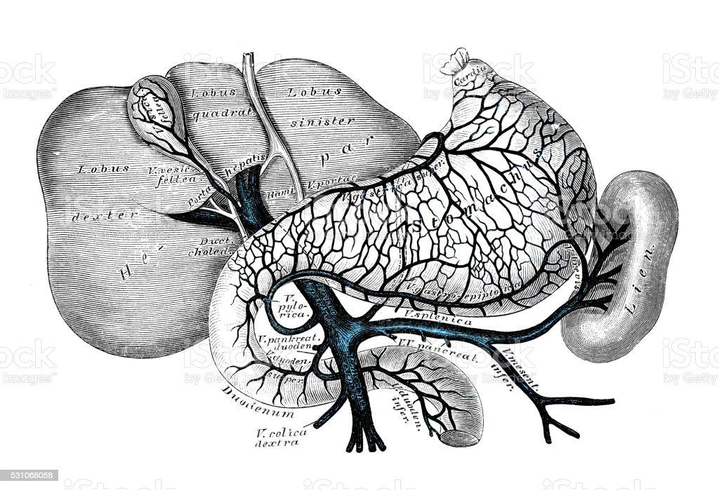 Ilustración de Ilustraciones Científicas De Anatomía Humana Sistema ...