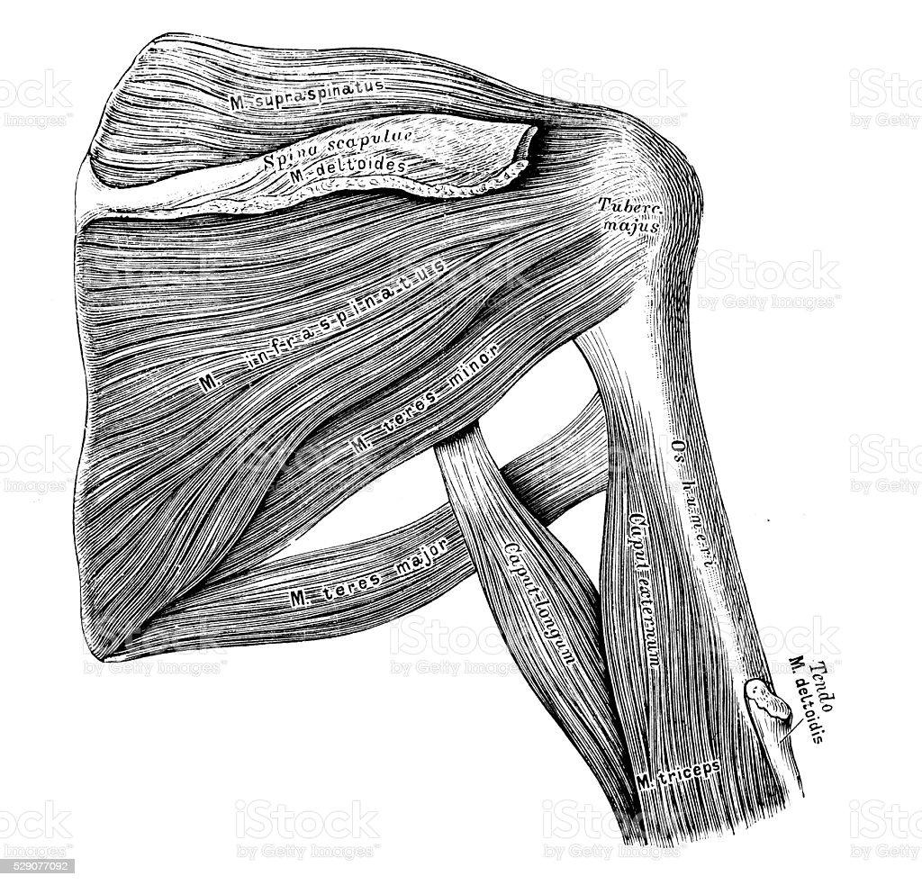 Ilustración de Ilustraciones Científicas De Anatomía Humana Hombro ...
