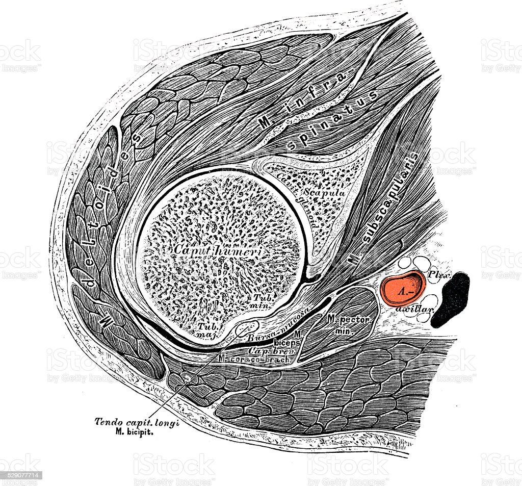 Ilustraciones Científicas De Anatomía Humana Hombro Los Músculos ...